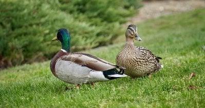 Tips & Tricks of Raising Ducks