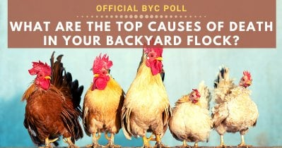 What Are The Top Causes of Death in Your Backyard Flock?