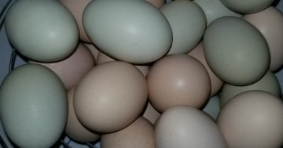 Selection, Storage & Handling of Hatching Eggs