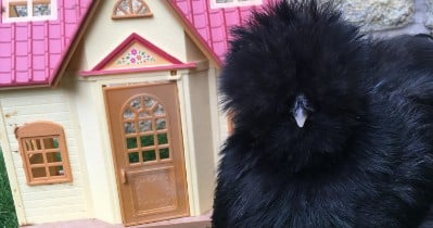 POW: Giant Silkie from Silkie Owner