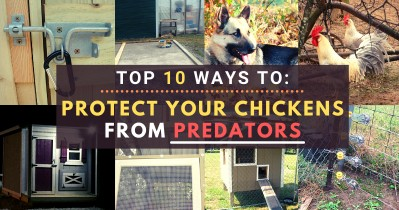 Top 10 Ways to Protect Your Chickens from Predators