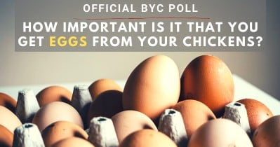 How Important Is It To Get Eggs From Your Chickens?