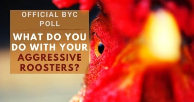 What Do You Do With Your Aggressive Roosters?