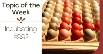 Topic of the Week - Incubating Eggs