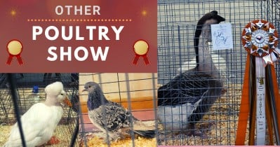 Official BYC 2021 Summer Fair: Other Poultry Show