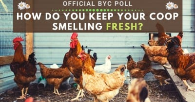 How Do You Keep Your Coop Smelling Fresh?