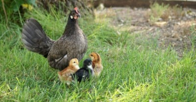 POW: Lovely Bantam & Her Babies from Sadness Child