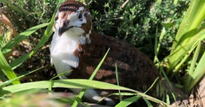 POW: Beane, Coturnix Quail from RoostersAreAwesome