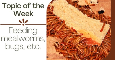 Topic of the Week - Feeding mealworms, bugs etc.