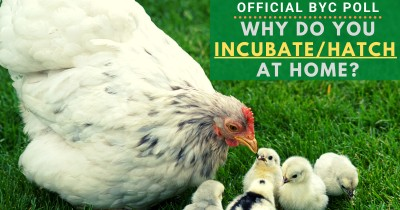 Official BYC Poll: Why Do You Incubate/Hatch at Home?