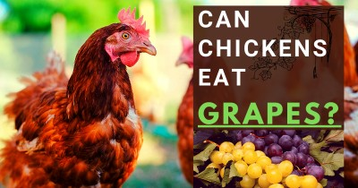 Can Chickens Eat Grapes?