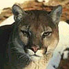 MountainLion-sm.jpg