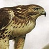 red-tailed_hawk2-sm.jpg