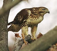 Red Tailed Hawk - Chicken Predators - How To Protect Your